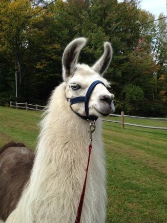 NY prize llama